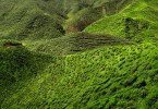 Cameron_Highland_Tea_Plantation_2012